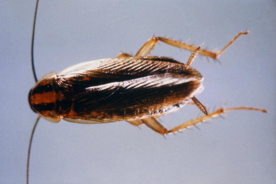 Photo of German Cockroach