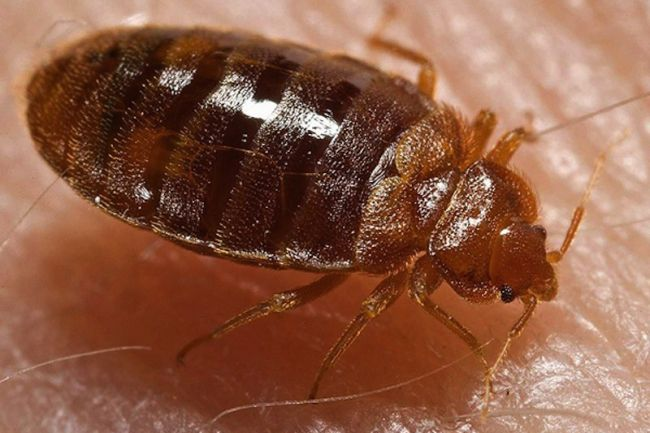 Image of a Bed Bug