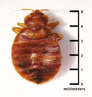 bed bugs in jupiter fl